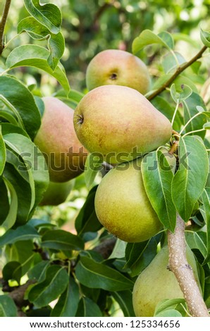 Russet pears growing in a pear tree in an orchard