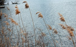 Russet, red dry grass, Miscanthus leaning in blowing spring wind at a lake shore with water in the background