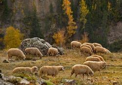 Russia. Gorny Altai. Flock of sheep grazing along the Chuya highway near the village Jodro.