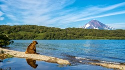 Russia, Kamchatka. Kronotsky Reserve. The bear sits on the shore of the Kurile lake and looks towards the Ilyinsky volcano.