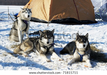 """RUSSIA, MOSCOW - FEBRUARY 19: Participants of competition prepare for arrival """"Races on the dog teams """"Strong spirit"""""""" February 19, 2009 in Moscow, Russia - stock photo"""