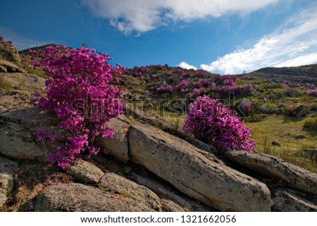 Russia. Mountain Altai. Chuyskiy tract in the period of the flowering of Maralnik (Rhododendron Ledebourii). #1321662056