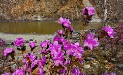 Russia. Mountain Altai. Thousands of tourists from different countries in early may come to admire the flowering of rhododendron Ledebur on the rocky slopes of high mountains along the Chuysky tract.