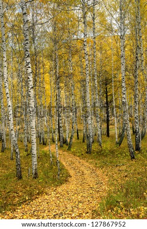 Russia nature landscape golden autumn birch forest path winds