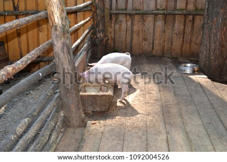 RUSSIA-2014: Russian village farmstead,two pigs eat food from the trough #1092004526