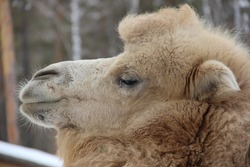 Russia. Siberia. A camel in the Siberian zoo. Camels are large animals adapted to live in arid regions of the world.