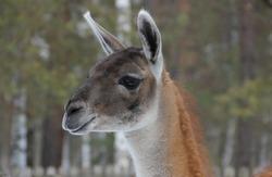 Russia. Siberia. Beautiful animal Llama in the Siberian zoo. The llama (Latin: Lama glama) is a South American mammal of the Camelidae family.