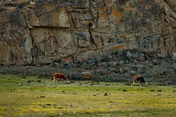 Russia. South of Western Siberia, Mountain Altai. Cows grazing peacefully in a spring pasture at the foot of the grandiose cliffs.