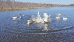 Russia, the Urals. Whooper swan on the open water of the pond. Latin name Cygnus cygnus. Spring, Aerial View