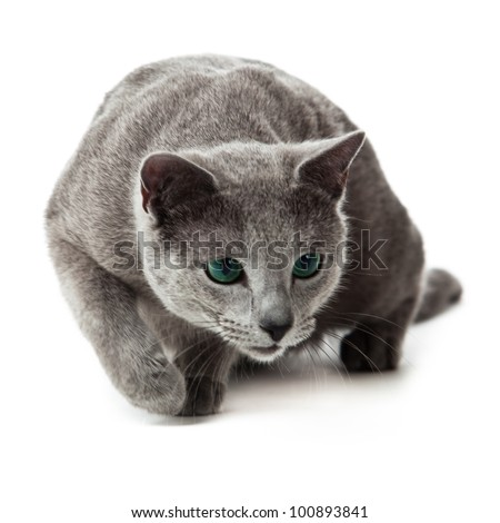 Russian Blue cat #100893841