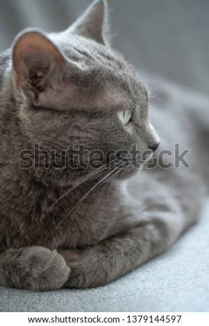 Russian Blue cat Zdjęcia stock ©
