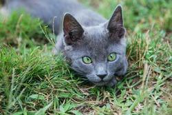 Russian blue cat. A small gray green-eyed pedigree kitten sits on the green grass.