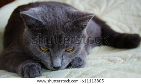 Russian blue cat and sky background