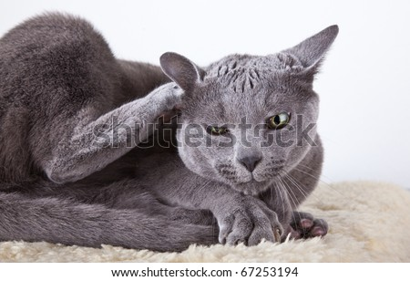 Russian Blue cat cleaning and scratching itself