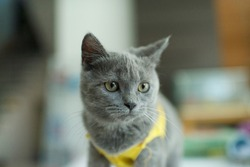 Russian Blue cat.Feline with yellow shirt and eyes.Fluffy grey kitty.Mammal at home.Domestic paw pet.Pedigree kitten.Face of furry friend at home.Portrait of cute cats.