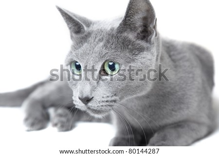Russian blue cat hunting on a white background