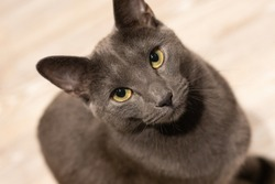 Russian blue cat intensly gazing into your eyes