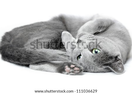 Russian blue cat laying and pampering on a white background