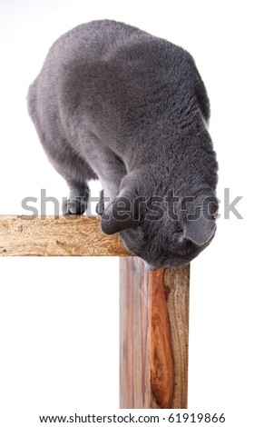 Russian Blue cat on Table looking down isolated on white