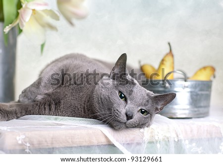 Russian Blue cat on Table with bowl of fresh Pears and Tulips