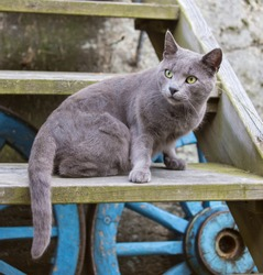 Russian blue cat on wooden stairs