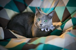 Russian blue cat Oscar with evening light.Proud and very curious Russian blue breed cat in a soft blue armchair. Green eyes, beautiful cat.