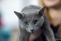 Russian blue cat portrait - Pedigree Cat