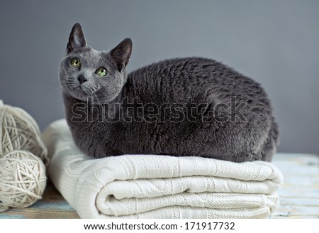 Russian Blue Cat Portrait with Woolen Sweater and Balls of Wool