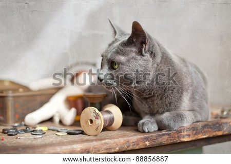 Russian Blue Cat relaxing on table with sewing tools