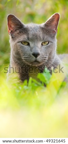 Russian Blue cat sitting in the grass in the afternoon sunshine - very low angle and shallow depth of field