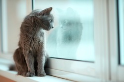 Russian blue cat with its reflection in the window