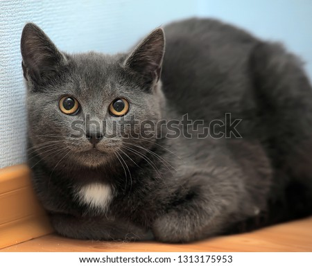 russian blue cat with white spot on chest #1313175953