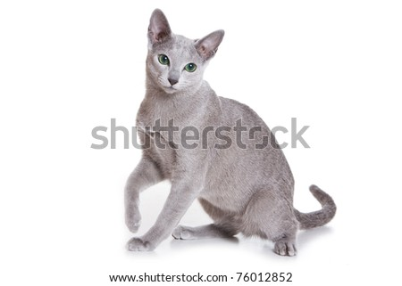 Russian Blue isolated on white - stock photo
