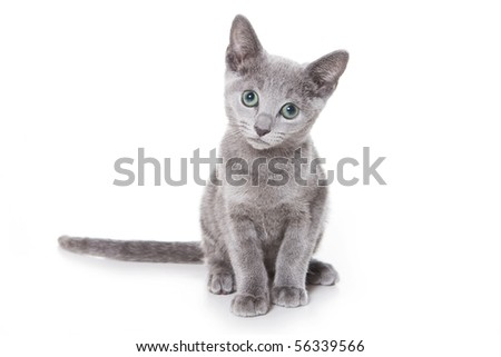 Russian Blue kitten on white