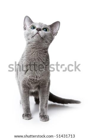 Russian blue kitten on white background