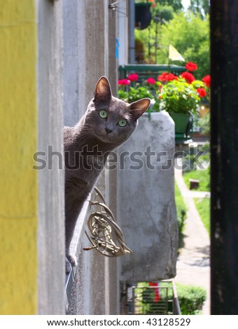 Russian Blue smiling cat