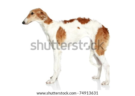 Russian Borzoi dog (5 months). Side view on white background - stock photo