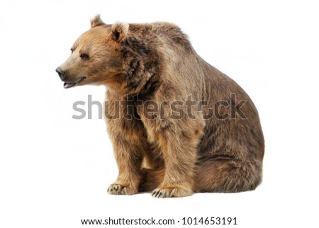 Russian brown bear, isolated