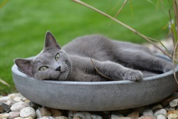 Russian gray cat resting in the garden bowl