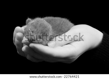 russian grey kitten sleeping on the hands