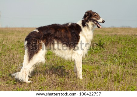 russian hunting sighthound - stock photo