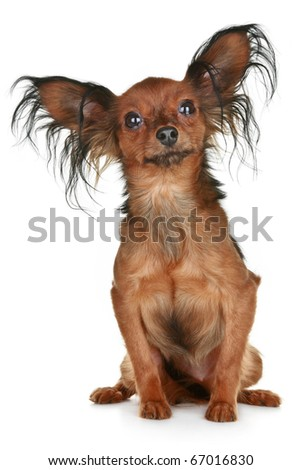 Russian long-haired toy terrier breed dog on white background