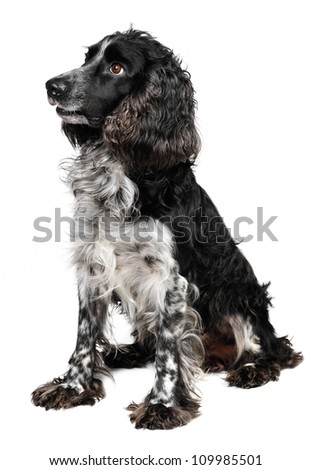 Russian Spaniel in studio  on white background