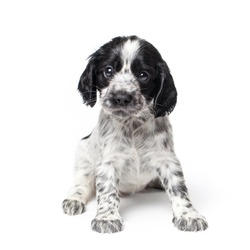 Russian spaniel puppy isolated on white background