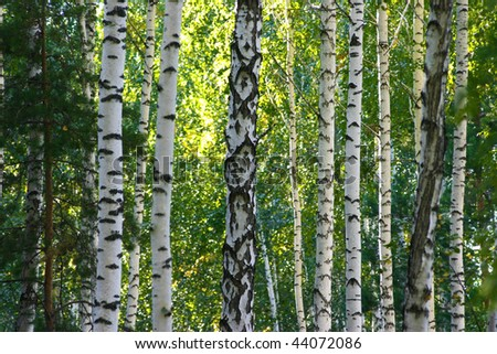 Russian Summer Birch (Betula Alba) Woods. Beauty Landscape Stock ...