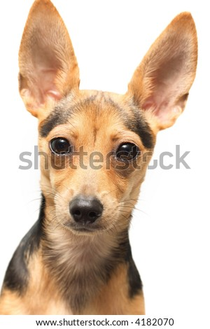 russian toy terrier isolated on white