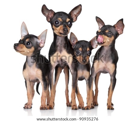 Russian Toy-terriers dogs group on a white background