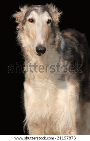 russian wolfhound isolated on black