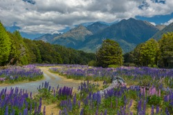 Russle Lupines at milfordsound, New zealand