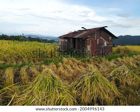rusted old hut in paddy's field  ストックフォト ©
